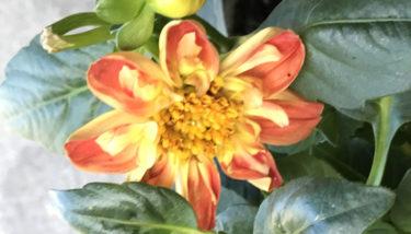 コロナ禍の下、ダリアの花に涙する